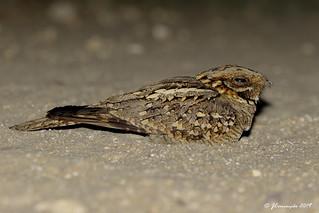 Noitibó de nuca vermelha - Caprimulgus ruficollis - Red-necked nightjar