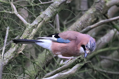 Jay at Ticknock Wood