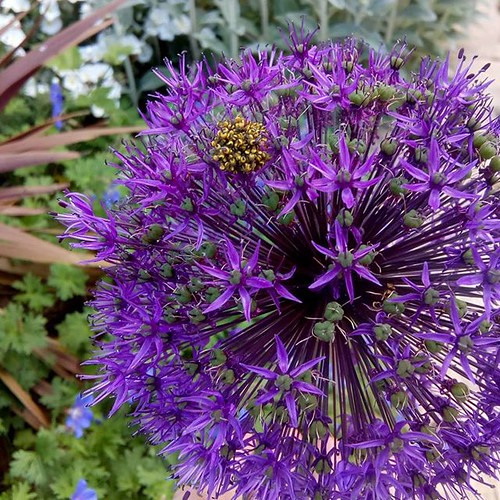One of the #aliums has a cluster of tiny spiders on it.