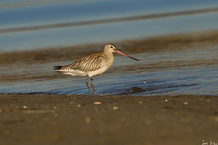 Fuselo - bar-tailed godwit (Limosa lapponica)