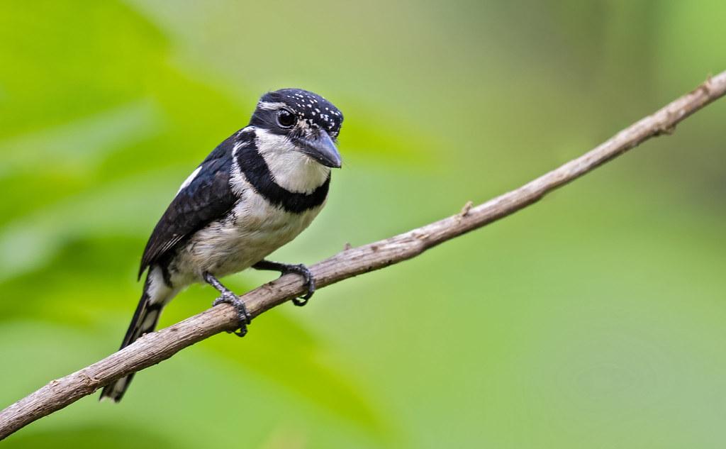 Notharchus tectus - Pied Puffbird - Buco Pío - Bobo Coronado 02