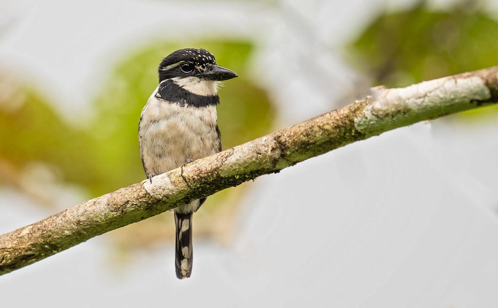 Notharchus tectus - Pied Puffbird - Buco Pío - Bobo Coronado 03