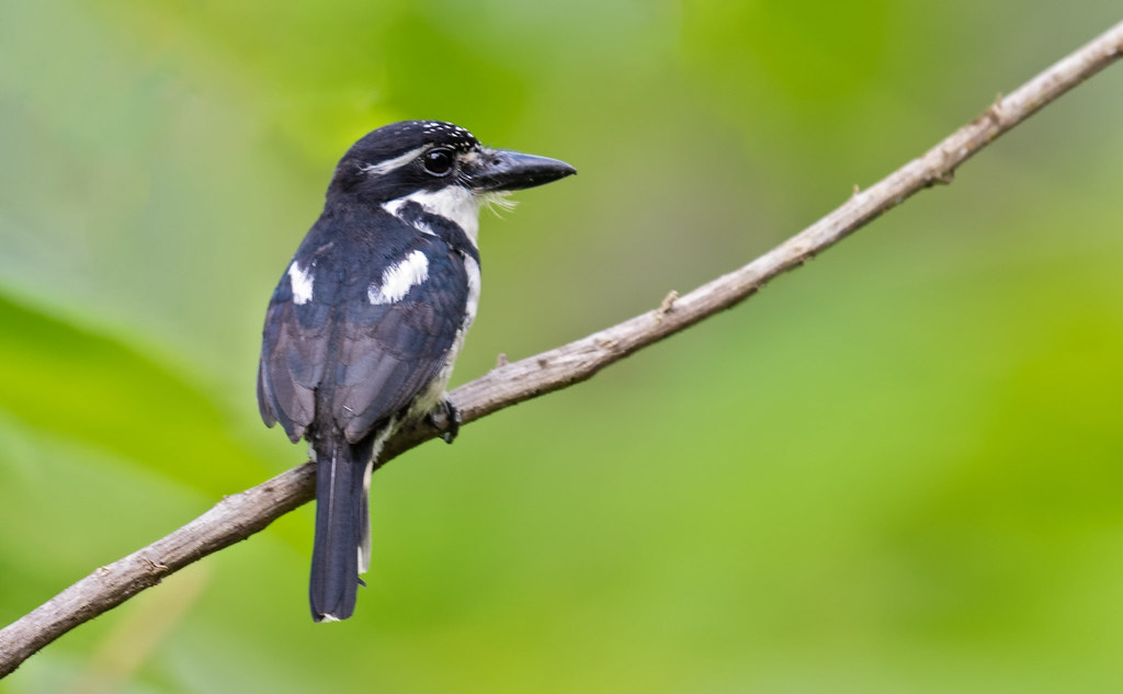 Notharchus tectus - Pied Puffbird - Buco Pío - Bobo Coronado 01