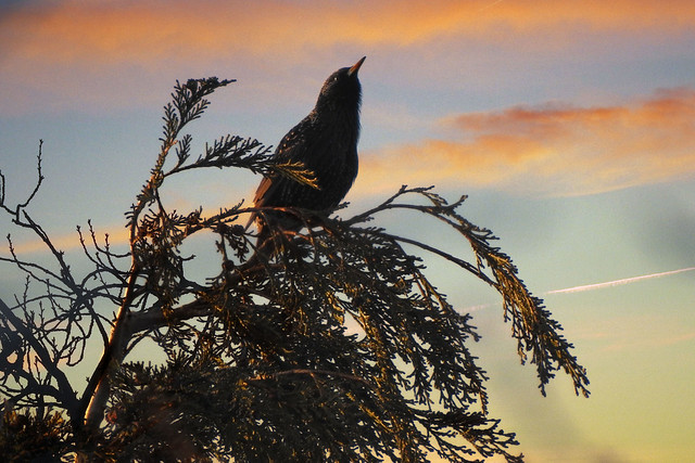 Starling in the dawn