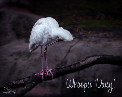 Image of Spoonbill at the Jacksonville Zoo, Florida
