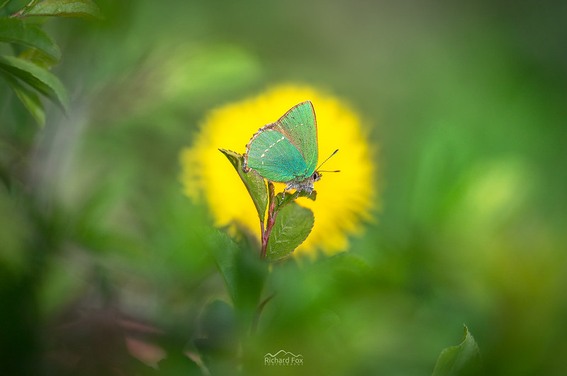 Green Hairstreak | Callophrys rubi