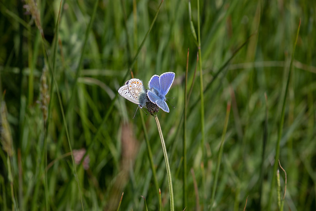 Two Common Blues