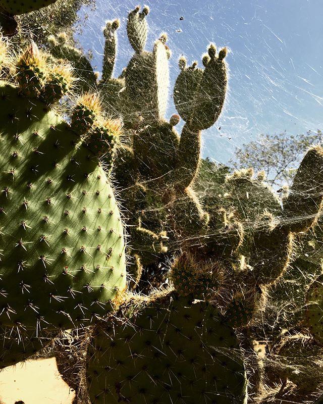 Opuntia com teias 🌵 #jardinsabertos2019
