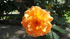 Plovdiv, Bulgaria - Rose