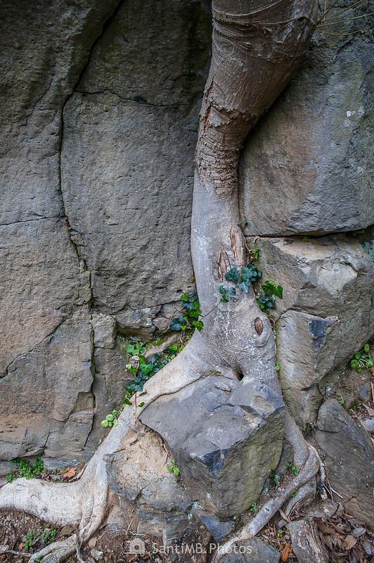 Raíz de un árbol en una pared de basalto del Molí Fondo en Sant Joan les Fonts