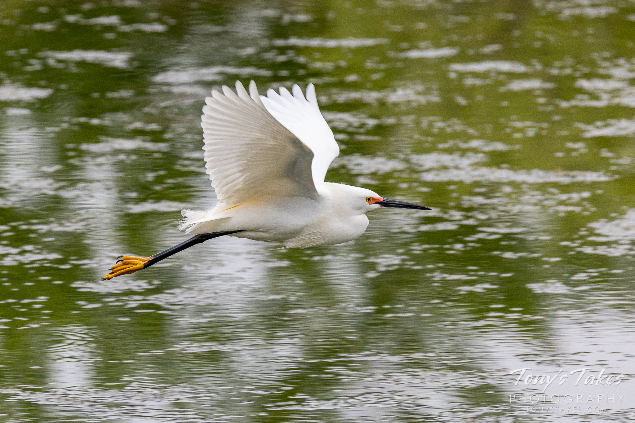 A snowy egret flies by in Adams County, Colorado. (© Tony's Takes)