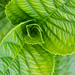 Hydrangea Leaves, 5.23.19