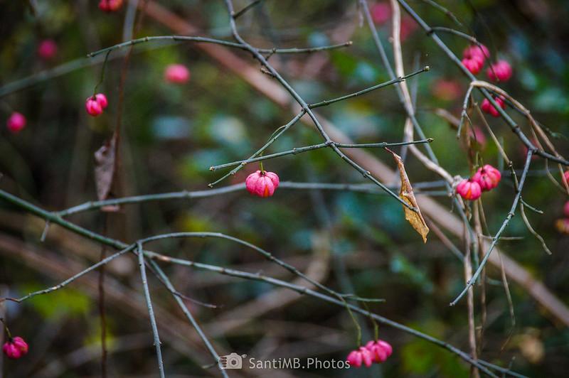 Frutos de bonetero en invierno
