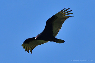 TURKEY VULTURE 19