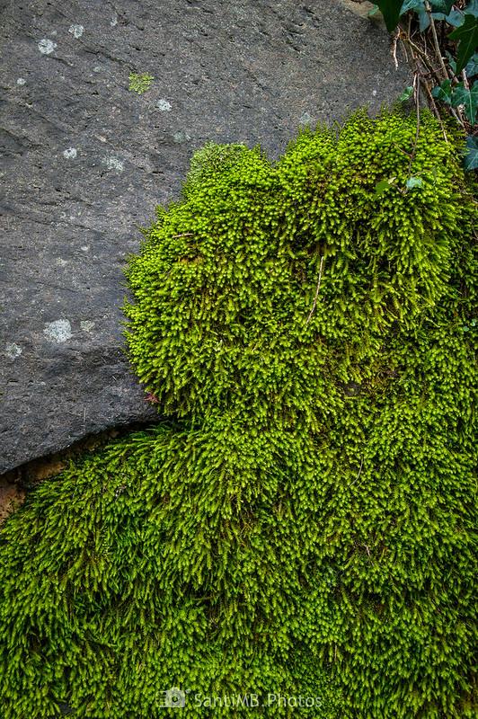 Musgo cubriendo parte de una roca en el camino a la Font de Can Xervanda