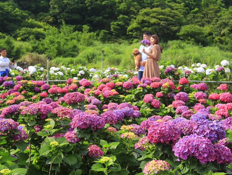 大賞園繡球花 陽明山頂湖