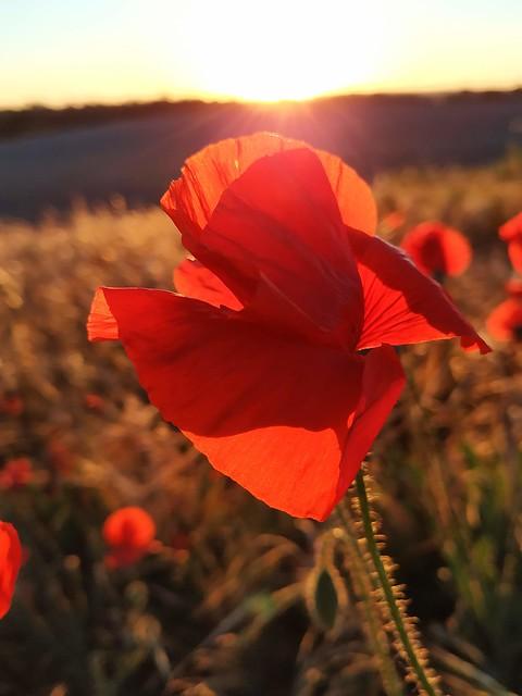 amapolas#poppies