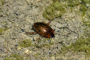 WATER BEETLE 1