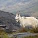 Wild Goat in Dinorwic