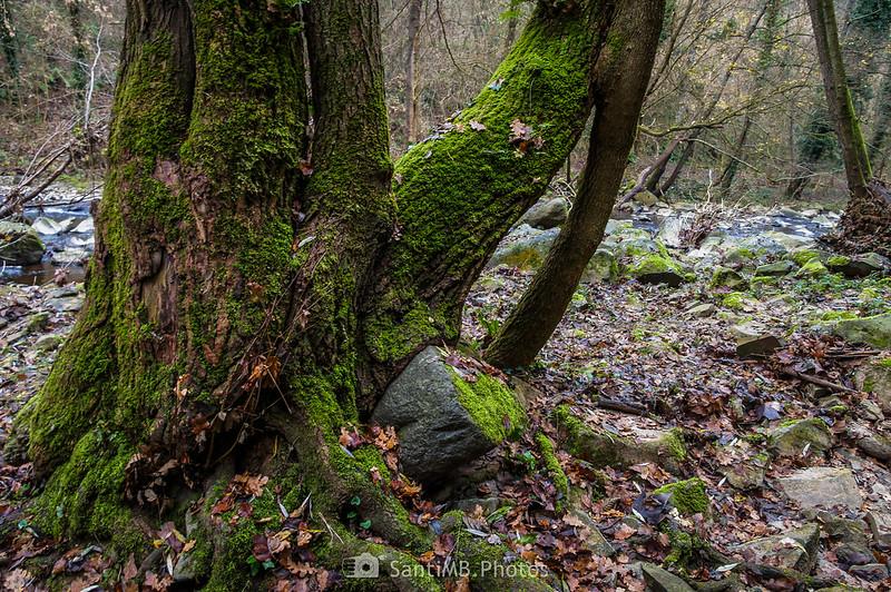 Tronco de árbol creciendo sobre una piedra a orillas de la riera de Bianya