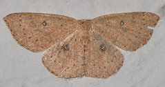 Cyclophora packardi