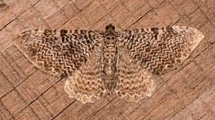 Rheumaptera prunivorata