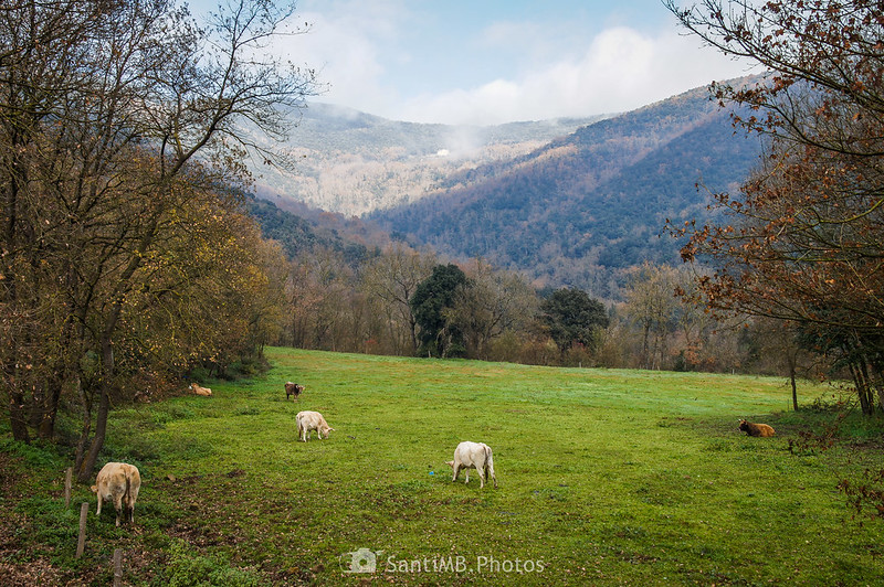 Unas vacas pastando con la Vall de Bianya de fondo