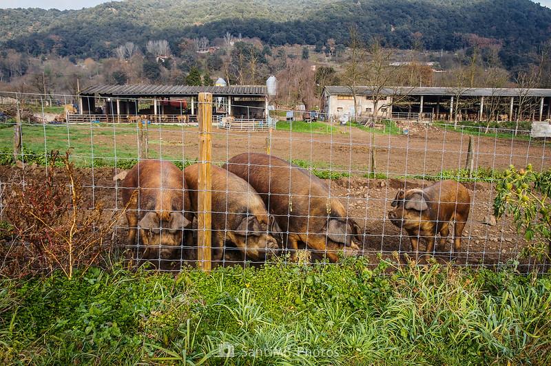 Cerdos en un terreno junto al Camí de Mulleres