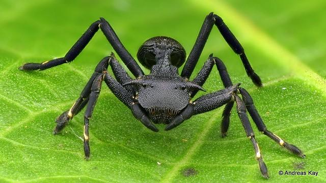 Crab Spider, Aphantochilus rogersi, Thomisidae mimicking the ant Cephalotes atratus