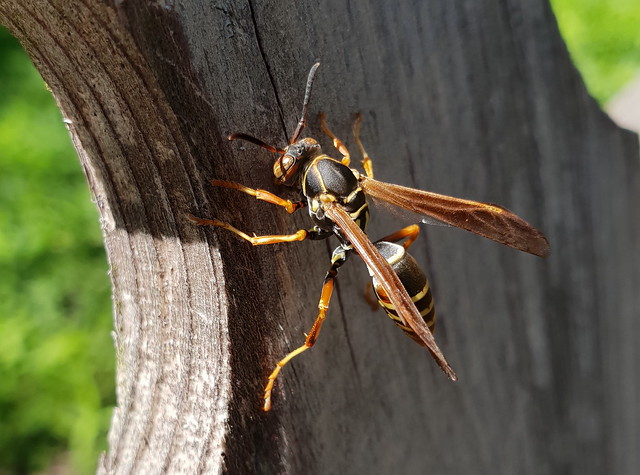 Wasp Hornet macro photo taken with a Samsung S9 Plus Camera-phone 20190523_132029
