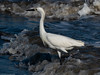 Snowy Egret by Ramona H