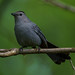 Gray Catbird wtih Spider Snack