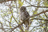 Barred Owl (Chouette rayée) by miro_mtl