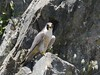 Peregrine Falcon by barbmerrill2