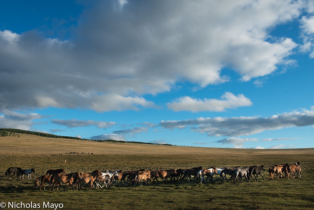 Steppe Horse Herd Galloping