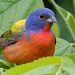 WAS_1778 Painted Bunting