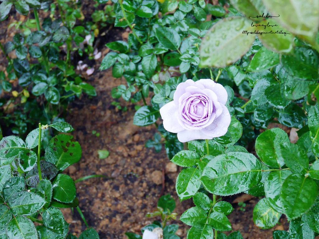 苗栗三義一日遊景點推薦雅聞香草植物工廠免門票夢幻玫瑰花園觀光工廠 (1)