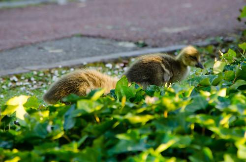 Greylag goslings, West Park, breakfast
