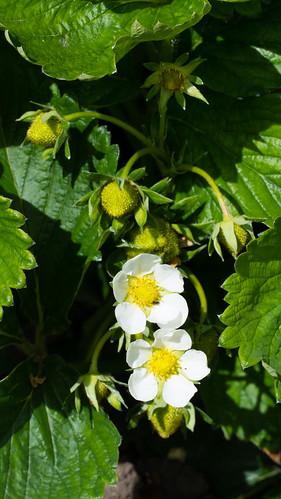 Strawberry: flowers, green fruit