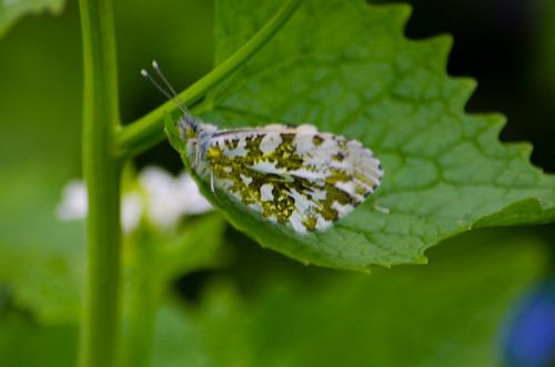 Female orange tip, wings closed, jack by the hedge leaf