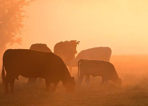 ©allrightsreserved mist sunrise cow mammal tree vista dawn meadow field grass fog bovine cattle herd outside silhouette outdoor