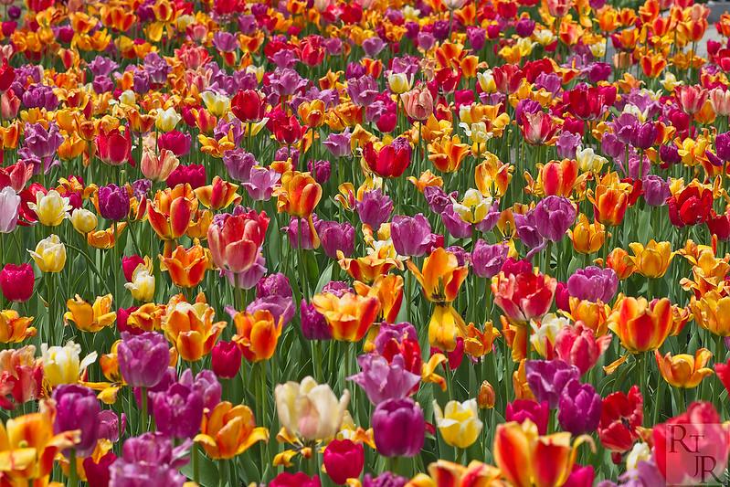 Tulipes 47933522523_896bd76eaf_c