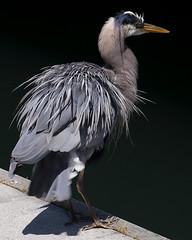 Heron Bathing