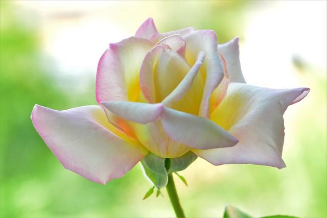 Rose YR