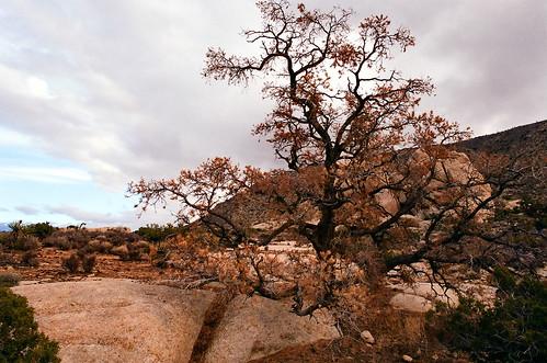 lone oak tree.