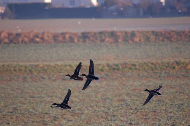 Ducks Migrating