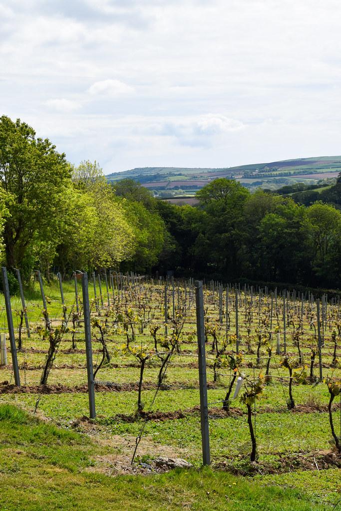 Vines at Camel Valley, Cornwall
