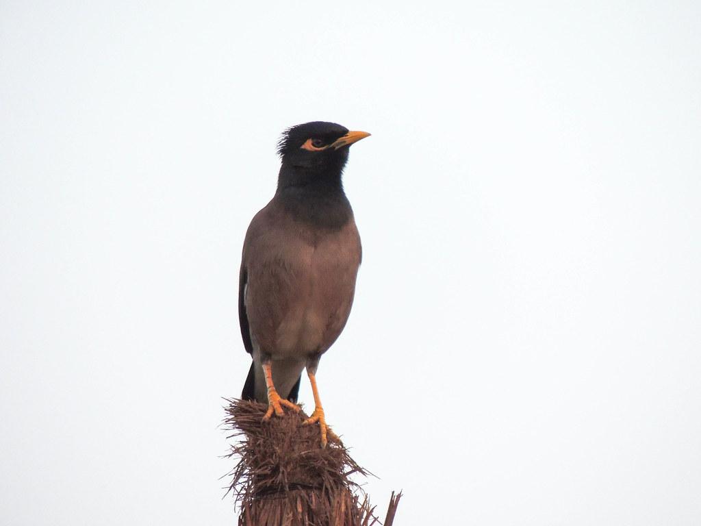 Aves en Nepal