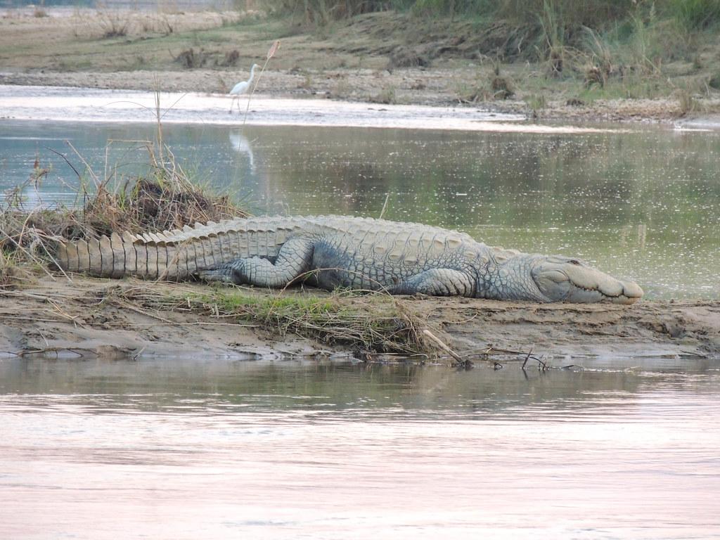 Cocodrilo en el Parque Nacional de Chitwan