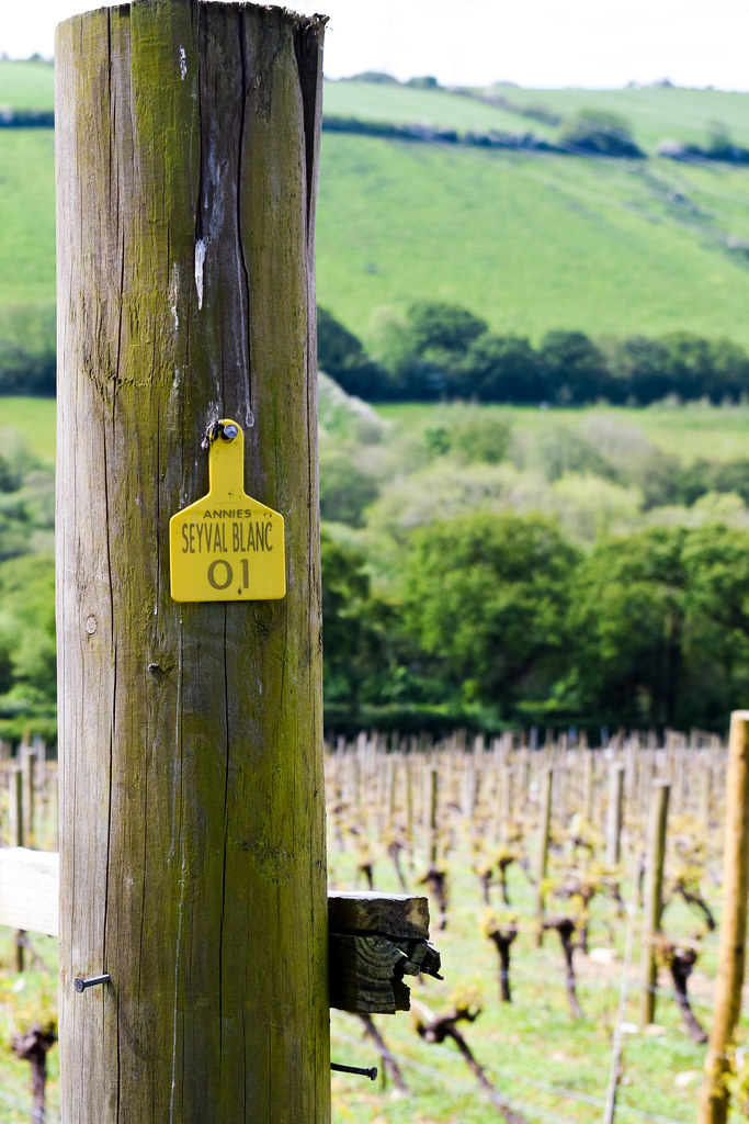Annie's Vines at Camel Valley, Cornwall
